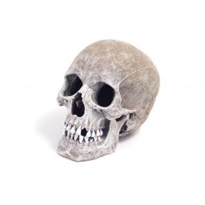 Rosewood pet Life-Like Human Skull